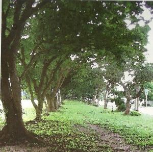 Acacia row
