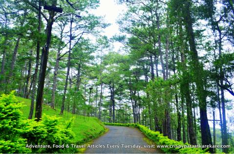 baguio_pine_trees